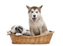 Alaskan Malamute and crossbreed puppies sitting in a basket Royalty Free Stock Photos