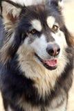 Alaskan Malamute dog Stock Image