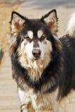 Alaskan Malamute dog Royalty Free Stock Image
