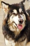 Alaskan Malamute dog Royalty Free Stock Photo