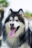Alaskan malamute dog Royalty Free Stock Photography