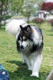 Alaskan malamute dog Stock Photography