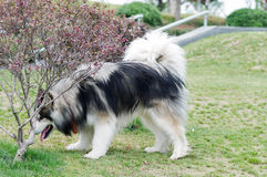 Alaskan malamute dog Royalty Free Stock Image