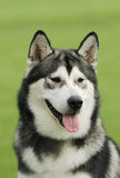 Alaskan Malamute dog. In garden Stock Photography
