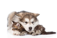 Alaskan malamute dog embracing small maine coon cat. isolated on. White Royalty Free Stock Image