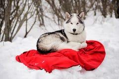 Alaskan Malamute dog. Female Alaskan Malamute dog lying on the red mat in the snow Royalty Free Stock Photo