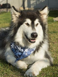 Alaskan Malamute Dog. A large Alaskan Malamute Dog Stock Photo