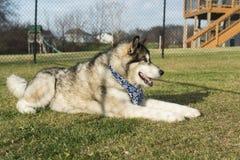 Alaskan Malamute Dog Stock Photos