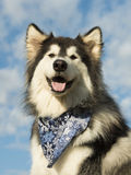 Alaskan Malamute Dog. A large Alaskan Malamute Dog Royalty Free Stock Image