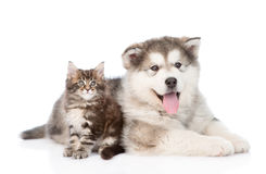 Alaskan malamute dog lying with maine coon cat together. isolated. On white Stock Photo