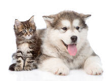 Alaskan malamute dog and maine coon cat  together. isolated. On white Royalty Free Stock Photo
