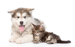 Alaskan malamute dog and maine coon cat together. isolated on white Stock Photo