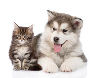 Alaskan malamute dog and maine coon cat together. isolated. On whute Royalty Free Stock Photo