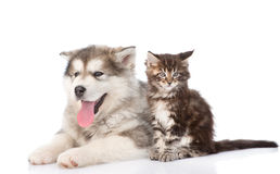 Alaskan malamute dog with maine coon cat together.  on w. Hite background Royalty Free Stock Images