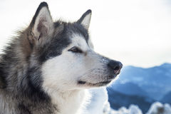 Alaskan Malamute. An alaskan malamute dog in a meeting Royalty Free Stock Images