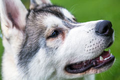 Alaskan Malamute dog Stock Photos