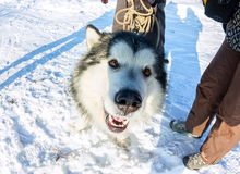 Alaskan Malamute dog portrait in front camera Stock Photo