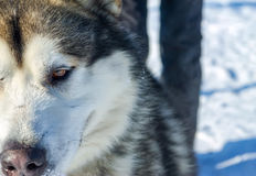 Alaskan Malamute dog portrait in front camera.  Royalty Free Stock Photography