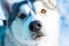 Alaskan Malamute dog portrait in front camera Stock Photos