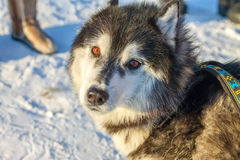 Alaskan Malamute dog portrait in front camera.  Royalty Free Stock Images