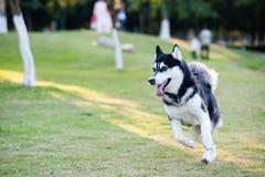 Alaskan Malamute dog running. On the lawn Stock Photography