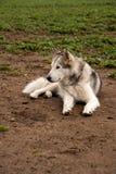 Alaskan malamute dog, running happy at the park