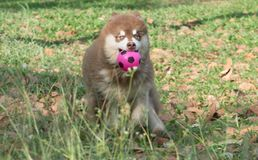 Alaskan Malamute Dog running with  Pink Ball in the mouth. Copper brown Alaskan Malamute puppy running with  pink ball in the garden Stock Photo