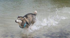 Alaskan Malamute dog Royalty Free Stock Photos