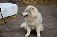 Alaskan Malamute dog sitting Stock Images