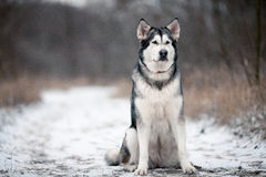 Alaskan malamute dog sitting in snow. Around forest Royalty Free Stock Photos