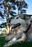 Alaskan Malamute Dog Stock Images