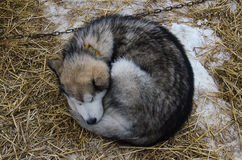 Alaskan malamute dog sleeping outdoor. On straw bedding Stock Photography