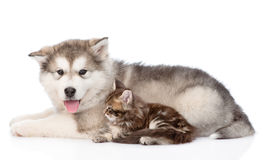 Alaskan malamute dog and small maine coon cat lying in profile. isolated on white Royalty Free Stock Photography