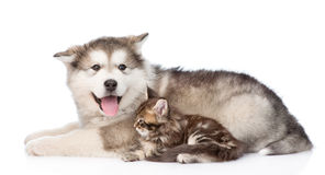 Alaskan malamute dog and small maine coon cat lying together. isolated on white.  Stock Photo