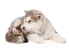 Alaskan malamute dog sniffing small maine coon cat. isolated. On white Stock Image