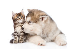 Alaskan malamute dog sniffing small maine coon cat. isolated. On white Royalty Free Stock Image