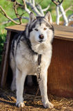 Alaskan Malamute. Dog Staying Outdoor In Summer Royalty Free Stock Photography