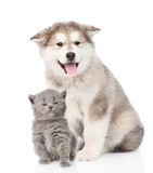 Alaskan malamute dog and tiny kitten together. isolated on white Royalty Free Stock Image