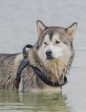 Alaskan Malamute Royalty Free Stock Images