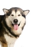 Alaskan malamute dog on white Royalty Free Stock Images