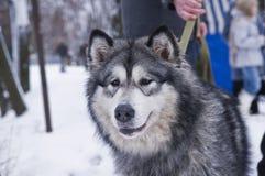 Alaskan Malamute Dog in Winter Stock Photography