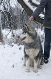 Alaskan Malamute Dog in Winter. A big Alaskan Malamute dog on a leash. The dog is sitting on the snow and looking away from its owner, who is holding the leash Royalty Free Stock Photography
