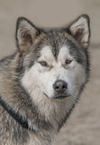 Alaskan Malamute Dog Royalty Free Stock Photography