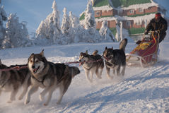 Alaskan malamute dogsled royalty free stock photography