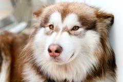 Alaskan Malamute fluffy red lies stock photos