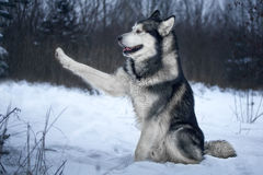 Alaskan Malamute in the forest Stock Image