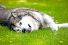 Alaskan Malamute on grass Royalty Free Stock Photos