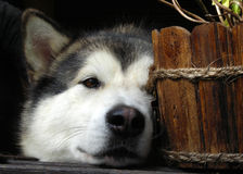 Alaskan Malamute hide-and-seek royalty free stock photos
