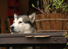 Alaskan Malamute hide-and-seek Royalty Free Stock Photo