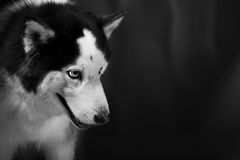 Alaskan Malamute or Husky Dog Stock Image